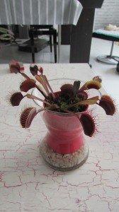 Dionée, la plante carnivore ! dans Maison img_0946-168x300